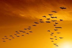 flock of migrating canada geese birds